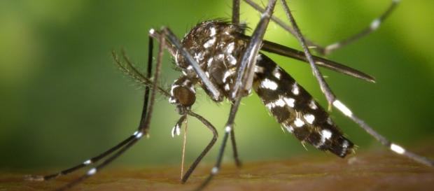 """Aedes Albopictus """"zanzara tigre"""""""