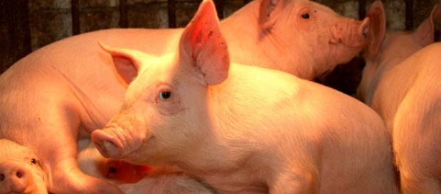 """Chamar o Palmeiras de """"porco"""" podia dar briga."""