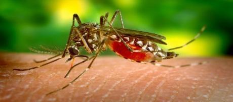 Mosquito feeding - Photo Pixabay