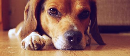 foto che ritrae un cane beagle