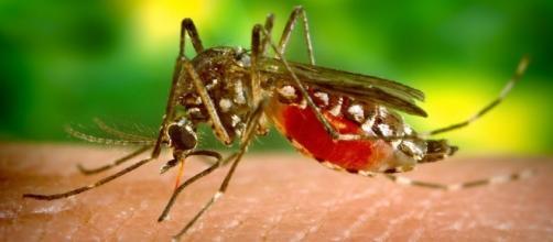 """Zanzara tipo Aedes """"carica"""" di sangue"""