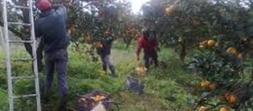 Calabria, un euro all'ora per raccogliere agrumi