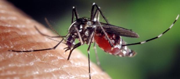 Aedes Aegypti principale vettore dello Zika Virus