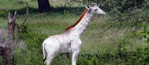 Fotografía de ''Omo'', la jirafa blanca