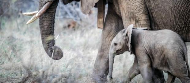 Orphaned baby elephants are vulnerable. (Pixabay)