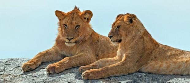 African lions. Image courtesy of Pixabay