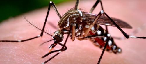Mosquito aedes aegypti portador del Zika