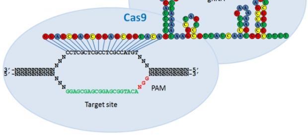 Crisp-cas9 : le modificateur d'ADN