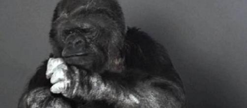 Koko, gorilla femmina, 44 anni.