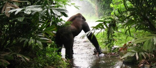 Rain forest gorillas. Image courtesy Pixabay