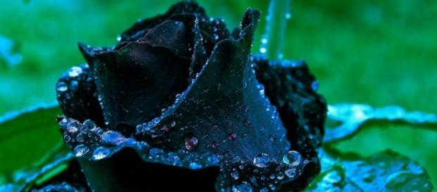 As lindas rosas negras de Halfeti na Turquia