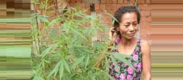 Mulher plantava maconha achando que era coentro.