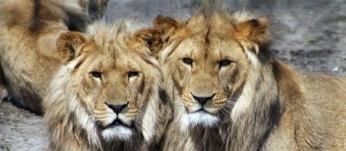 African lions / Photo by Aboeka, CCO Public Domain, via Pixabay.com
