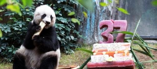 Hong Kong giant panda Jia Jia breaks world record to become oldest ... - scmp.com