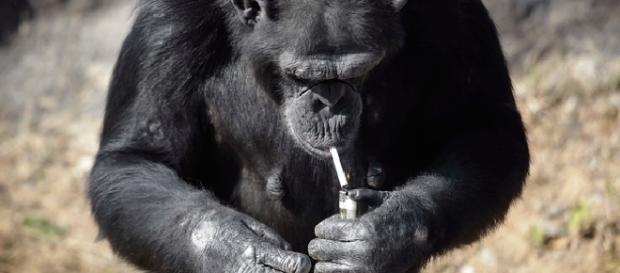Macaca que fuma um maço de cigarros por dia é sensação na Coreia do Norte.
