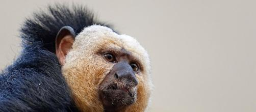 New World Monkeys - Facts, Information & Habitat ...- animalcorner.co.uk