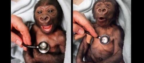 'O sorriso do bebê Gorila, do fotógrafo David Caird em 1999 durante o check-up ao consultório veterinário do Zoo na Austrália.