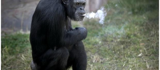 Chimpanzé Azalea fuma um maço de cigarro por dia
