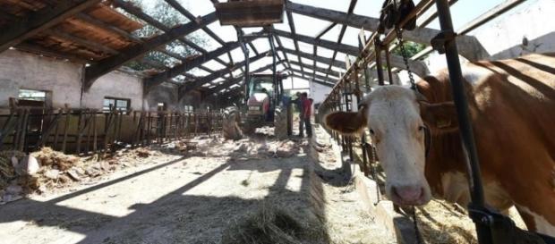 Le stalle di emergenza promesse agli allevatori di Amatrice ancora non sono arrivate.