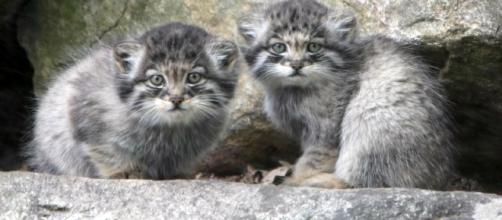 Manul Kittens - WIkipedia Commons - CC BY
