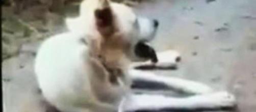 Il cane Angelo ripreso dai suoi aguzzini alcuni minuti prima di essere barbaramente ucciso.