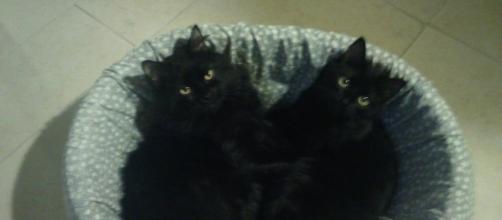Sorte ou azar: os gatos pretos são símbolos de inúmeras superstições