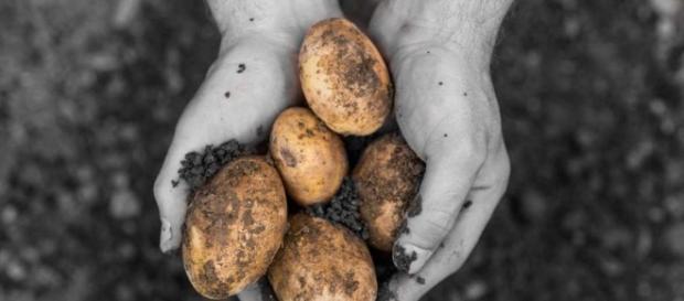 El cambio climático destruye el 20% del cultivo anual de patata en ... - rtve.es