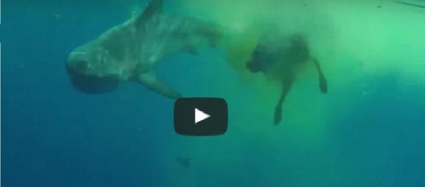 Tubarão é flagrado em cena bastante selvagem