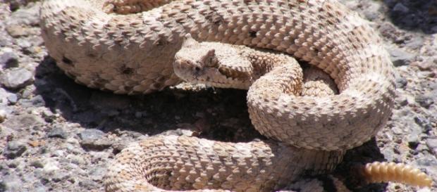 A Cascavel é uma das cobras mais venenosas do mundo