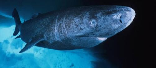 Por el momento no se conoce ningún vertebrado que haya alcanzado los 512 años, aparte del tiburón de Groenlandia