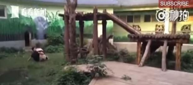 Ao ser acordado, urso partiu pra cima do chinês (People's Daily, China)