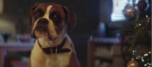 #BusterTheBoxer, protagonista spot Natale 2016 John Lewis