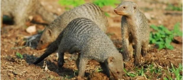 Africa's banded mongoose like the ones at Sun City golf / Photovia wikimedia commons