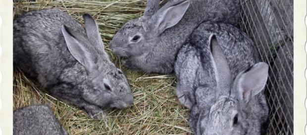 Arrestati dai Carabinieri di Sinnai mentre scappavano con 14 conigli e un tacchino