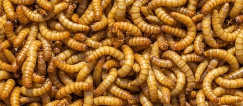 Mealworms Can Live on a 100% Styrofoam Diet. And That's Huge News ... - lockerdome.com