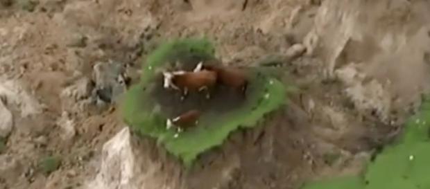 Due mucche e un vitello su una roccia dopo il terremoto in Nuova Zelanda