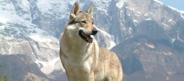 O lindo 'cão-lobo' da República Checa.
