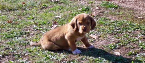 Un sabueso, unos de los perros más utilizados en la caza