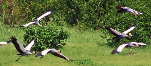 Crowned cranes - bird watcher paradise / Photo by Jane Flowers (Own work)