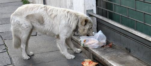 Stray Rescue of St. Louis saves dogs from a life like this. Photo: Commons.Wikimedia/ By Alex Ranaldi