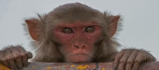 Una interfaz que conecta médula y cerebro ha logrado corregir la parálisis en macacos reshus