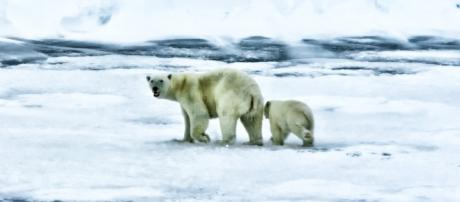 Polar bears prepare for the long, frigid Arctic winter. Photo - Pixabay.