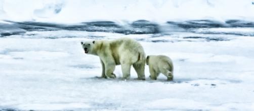 Polar bears prepare for the long, frigid Arctic winter. Photo - Pixabay.