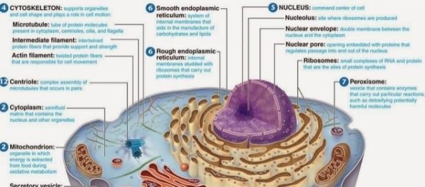 Las células son los elementos esenciales de la vida. En la imagen, una célula eucariota.