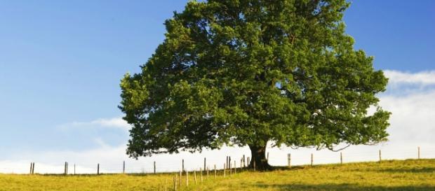 Stejarul Miron, cand va fi mare :)