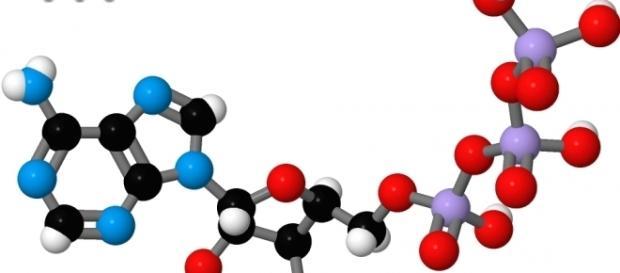 La molécula de ATP es el combustible básico de toda célula