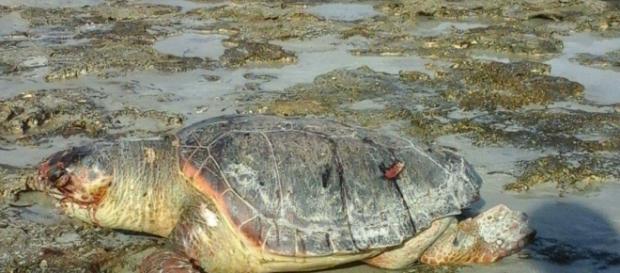 Una tartaruga ritrovata nel Salento.