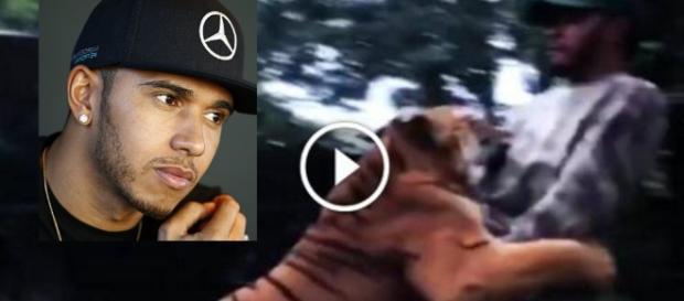 Hamilton vai brincar com tigre, mas algo inesperado acontece