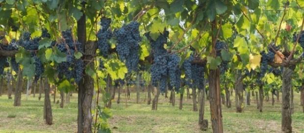 Wein aus Italien - Rotweintrauben vor der Lese