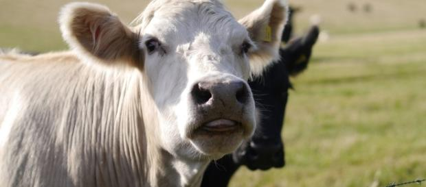 Cows better mind their manners in Calif. Photo: Pixabay https://pixabay.com/en/cows-pasture-tongue-agriculture-999870/